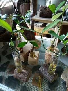 🚚 療愈小物  水耕植物 懶人植物 辦公室小物