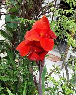 Canna plant red