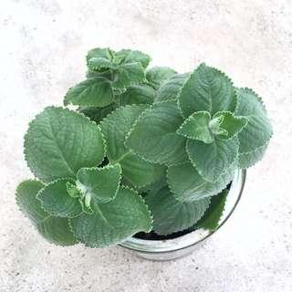 🌿 Organic Indian Borage / Mexican Mint / 到手香 🌿