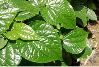 Pokok Kaduk / Piper Sarmentosum