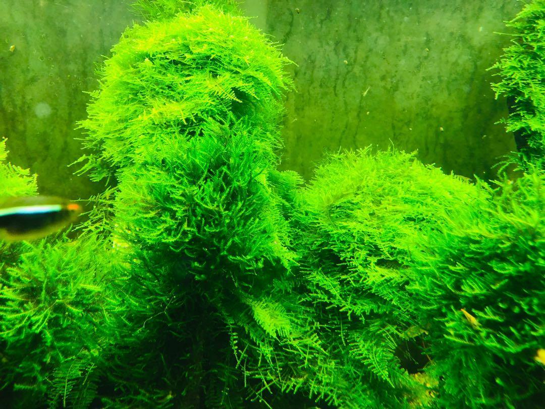 Christmas Moss Carpet.Moss Aquarium Christmas Xmas Gardening Plants On Carousell