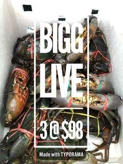 Big size live mud crab