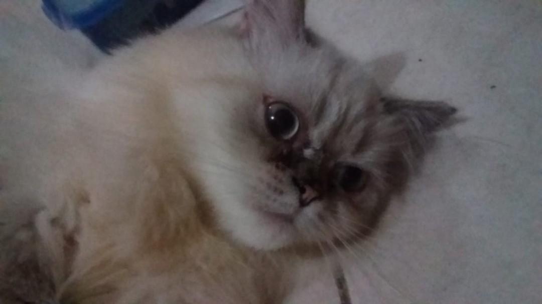 Kucing Persia Himalaya Long Hair Female Perlengkapan Hewan Makanan Hewan Di Carousell