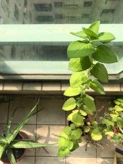 左手香 植栽 塑膠盆