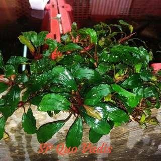 "Bucephalandra "" Quo Vadis "" clumps buce bucep plant submersed for planted tank aquatic"
