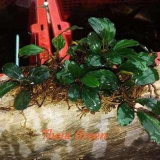 "Bucephalandra "" Theia Green "" buce bucep submersed aquatic plant"
