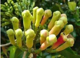 Anak pokok Cengkih
