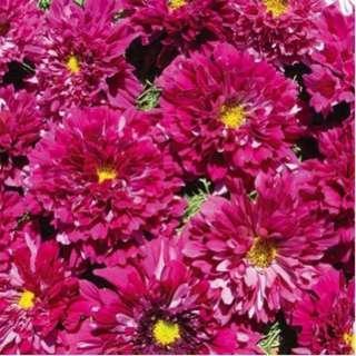 Garden Cosmos 'Double Click Bon Bon Cranberries' (Cosmos Bipinnatus) Flower Heirloom, 24 Seeds
