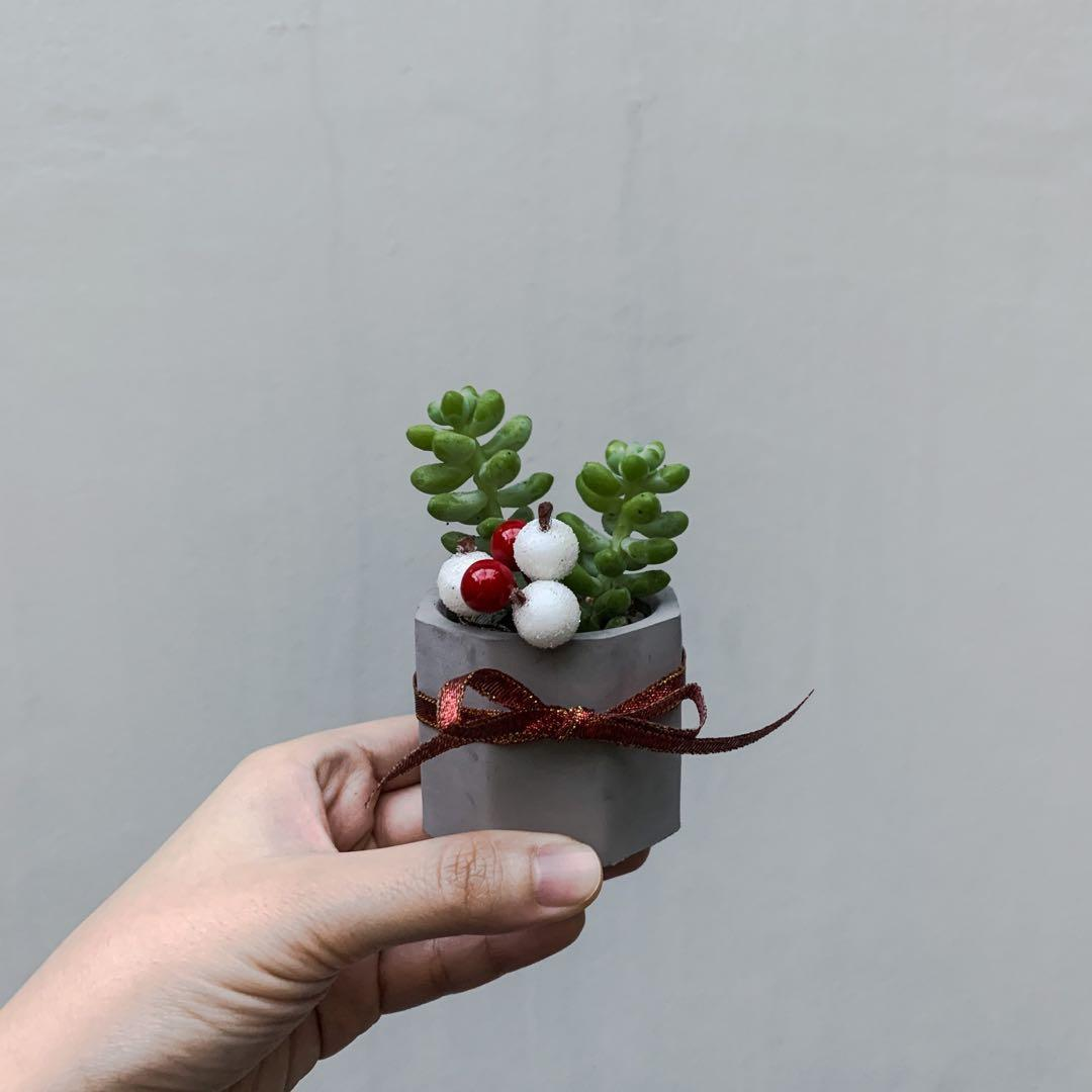 Christmas Succulent Gift.Succulent Christmas Gift Gardening Plants On Carousell