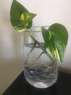 Devils ivy in water vase