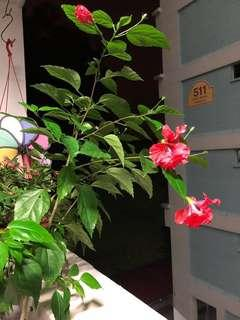 Red hibiscus 🌺 plant