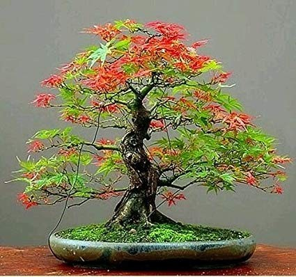 Ipy004 Japanese Maple Green And Red Seeds With Diy Bonsai Kit