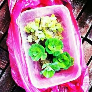 Free Postage-Mini Water Plant Luttuce Kiambang 1½ inch