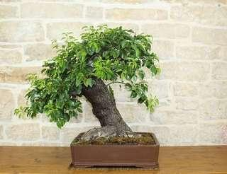 🚚 Japanese Cherry Seeds with DIY Bonsai kit (Further 10% discount, T&C