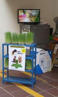Cat grass (Grown and Ready)