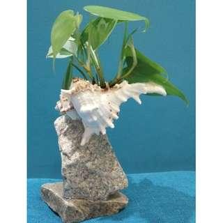 SEASHELL PLANTER with MONEY PLANT