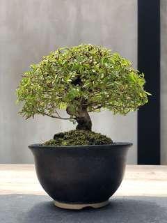 Japanese Keyaki Bonsai Small leaves