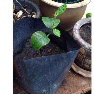 Jackfruit tree sapling