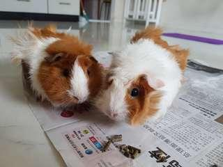 Looking for Female Guinea Pig