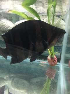 """Fish - Datnioides 8 """""""