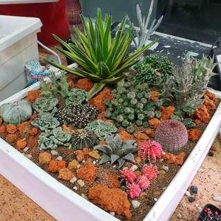 Cactus and succulents terrarium setup