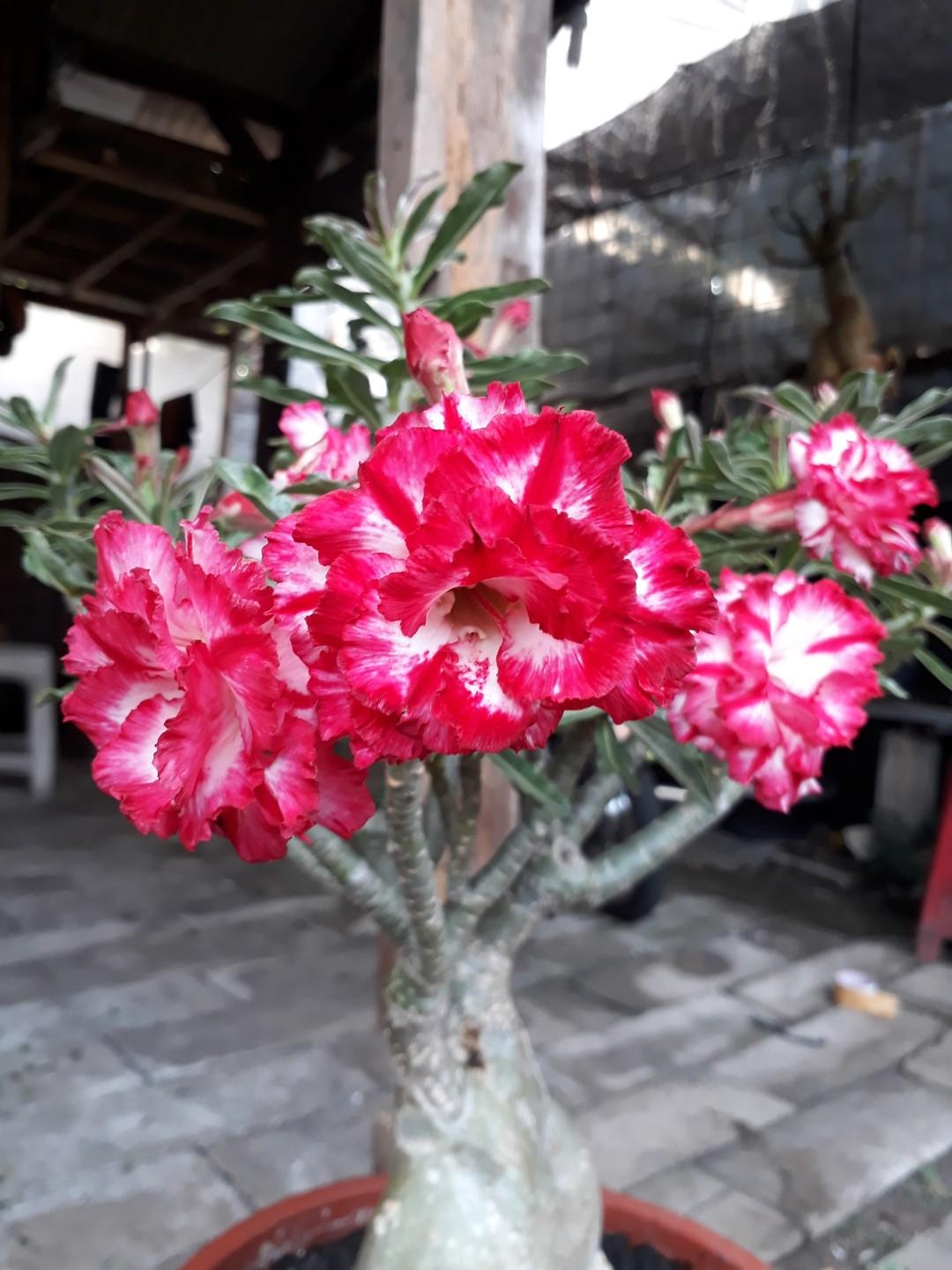 Adenium grafting phet monkon