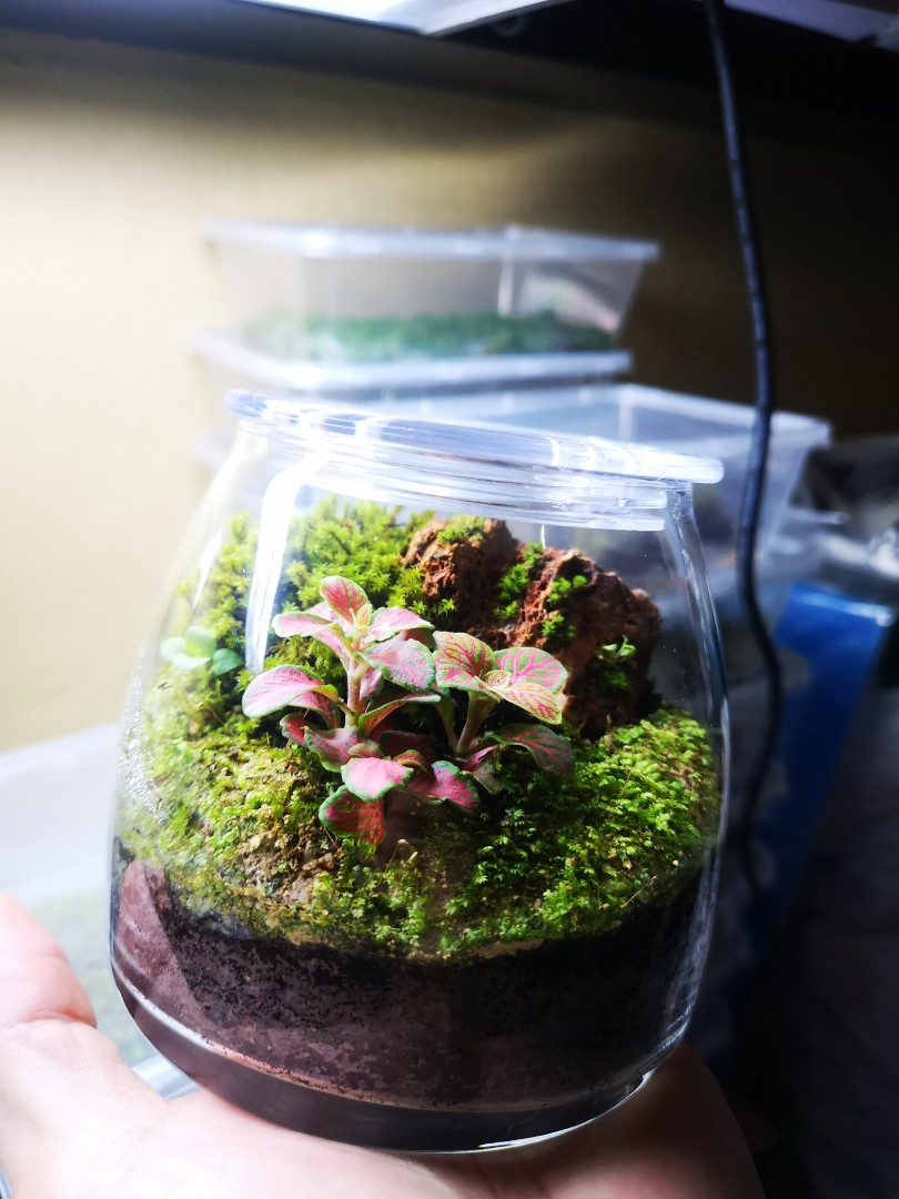 Terrarium Mini Garden All Real Plant Gardening Plants On Carousell