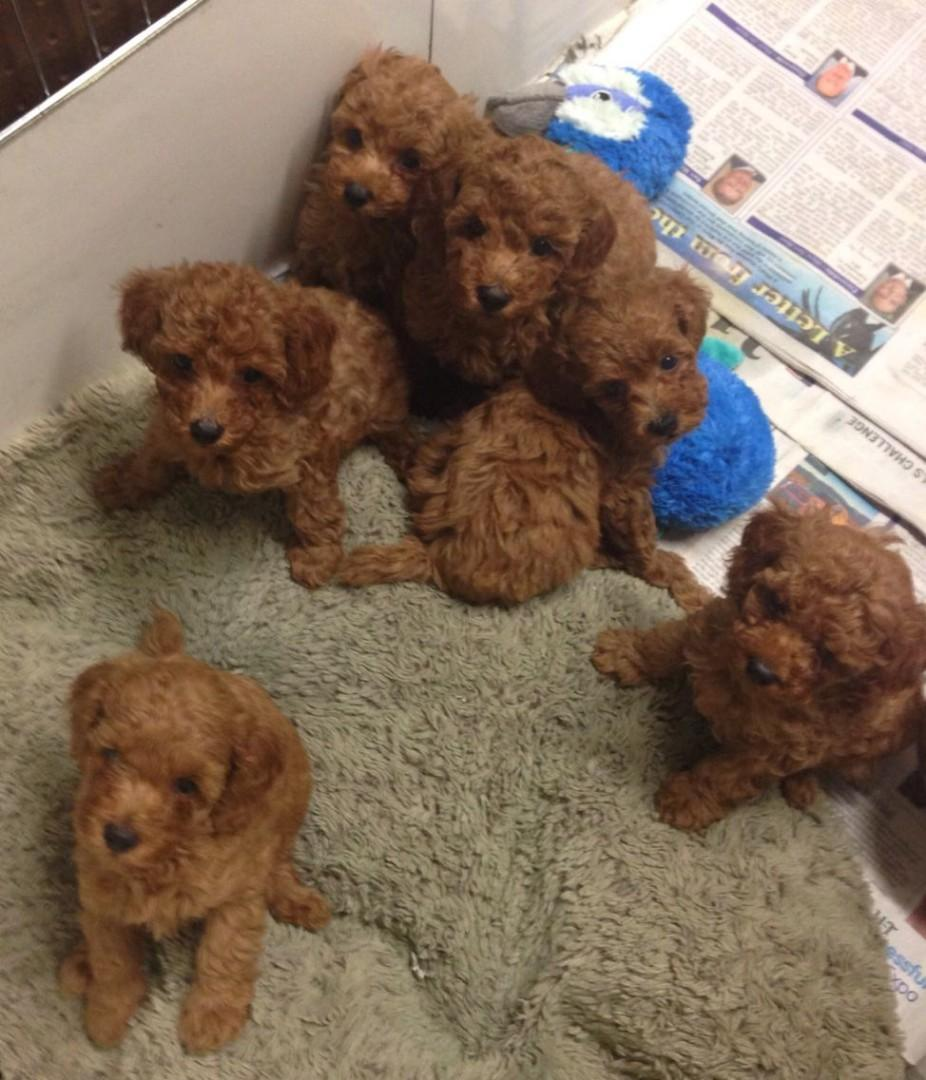 Wanted Looking For Red Poodle Puppy From Loving Home Pet Supplies For Dogs Health Grooming On Carousell
