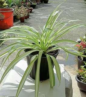 Air purifier Spider plant (Chlorophytum comosum) white