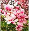 Pink/White Magnolia Tree Flower Seeds