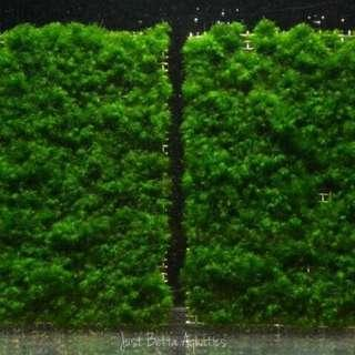 Mini/US Fissidens Fontanus on Mesh/Rock - No CO2 or Chiller Required