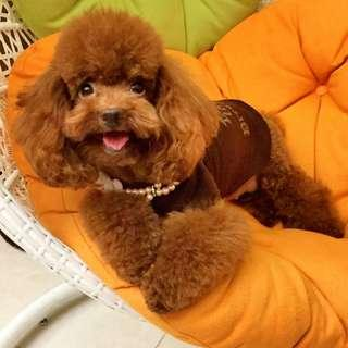 Red Toy Poodle Stamboom Betina