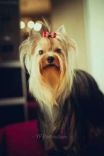 Dog Mini Yorkie Betina