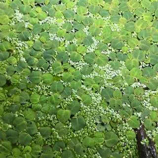 Assorted floaters green red root floater duck weed salvinia natans for breeding fry betta guppy