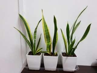 Air Purifying Plants (set of 3)