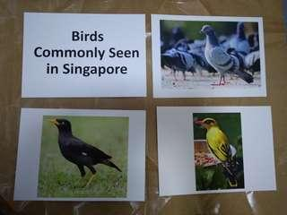 Birds commonly seen in Singapore - Encyclopedia flashcards, Glenn Doman and Shichida