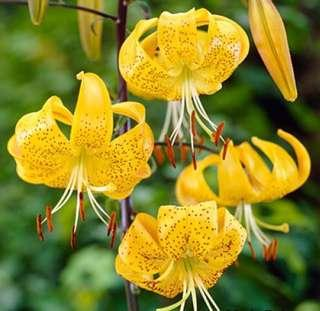 Yellow Perfumed Lily Flower Seeds