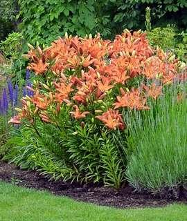 Peach Perfumed Lily Flower Seeds