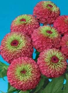 Zinnia Elegans 'Queen Red Lime' Flower Seeds