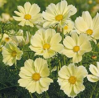 Soft Yellow Cosmos Bipinnatus Flower Seeds