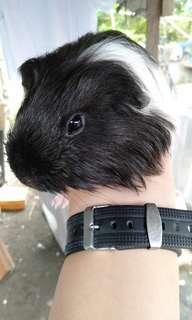 Guineapig Black White Sheltie
