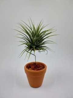DIY空氣草盆栽