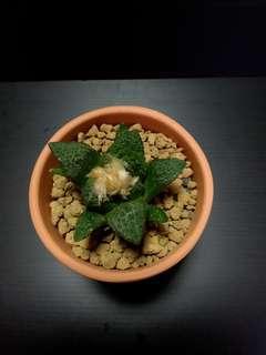 Ariocarpus Fissuratus (Godzilla)