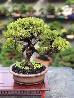 30cm Japanese Shimpaku Bonsai