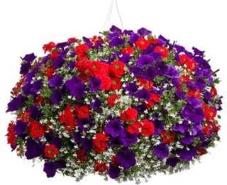 Combination Red/Purple Petunia Flower Seeds