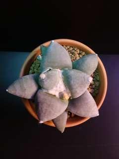 Ariocarpus Retusus cv Brevituberosus