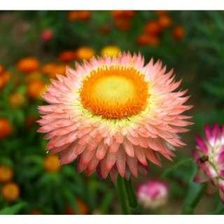 Salmon Rose Strawflower Seeds (Non GMO)