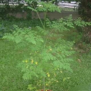 Moringa sapling