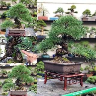 45cm Japanese Black Pine