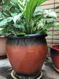 合果芋盆栽